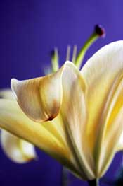 white-lily-blue-background